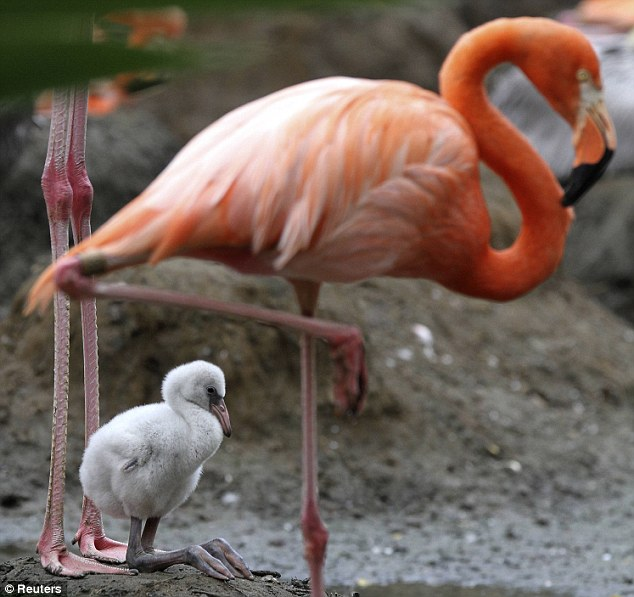 Baby Flamingo with very large feet