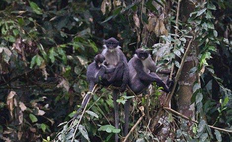 Dracula monkeys